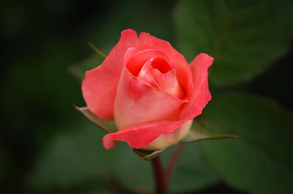 Rose Fondant